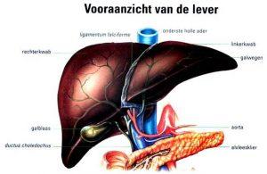 Bouw en werking van de lever