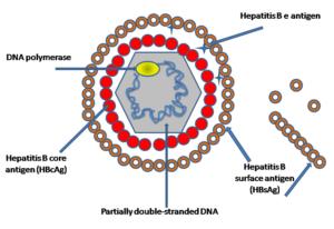 hepatitis B-virus